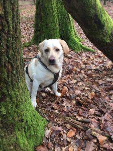 Labradorhündin Lola % tiergestützte Intervention-Pädagogik und Therapie